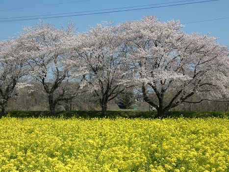 「きれぎれの風彩『都幾川桜堤』0418-1」