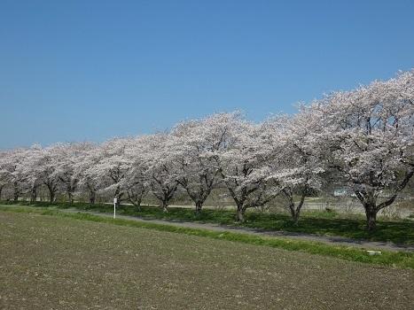 「きれぎれの風彩『都幾川桜堤』0418-2」
