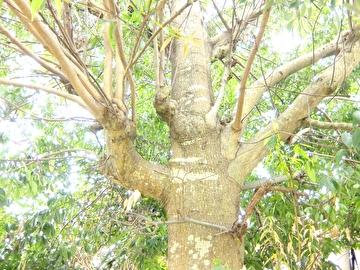 枝の状態1