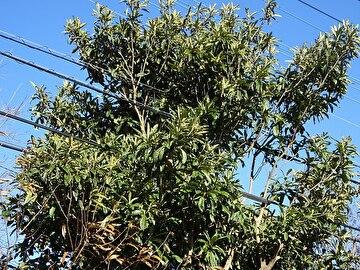 電線にからんだびわの木