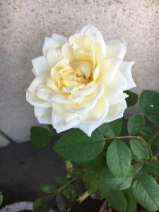 叔母宅の薔薇