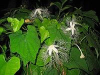 200px-Trichosanthes_cucumeroides0.jpg