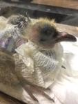 皮下気腫の鳩雛