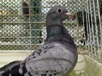 里親募集中の鳩たち