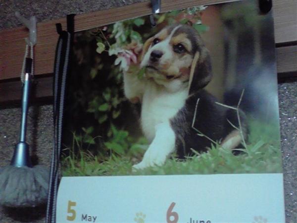 2020カレンダー 5・6月の ビーグル犬