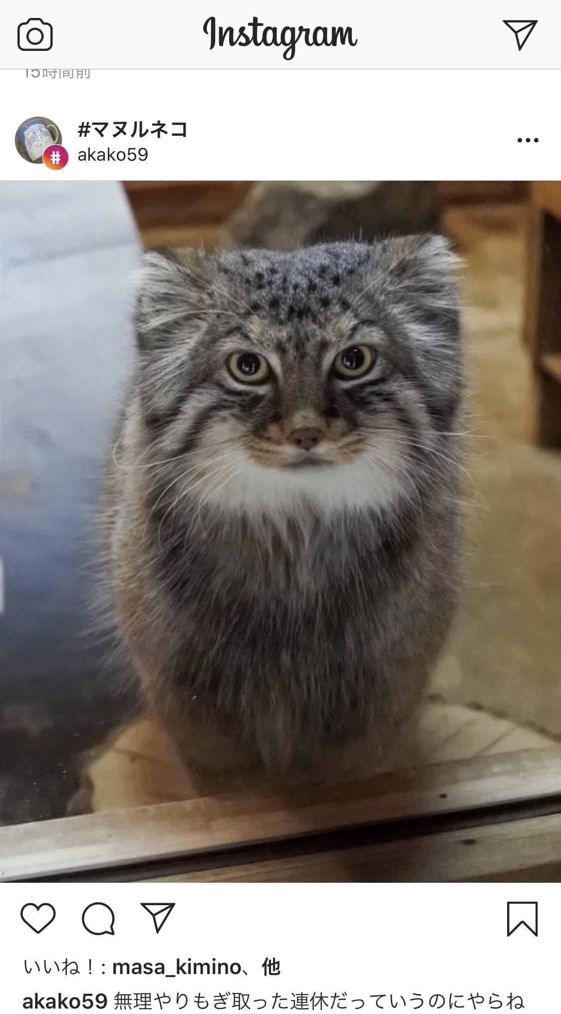 マヌル猫のロータス君