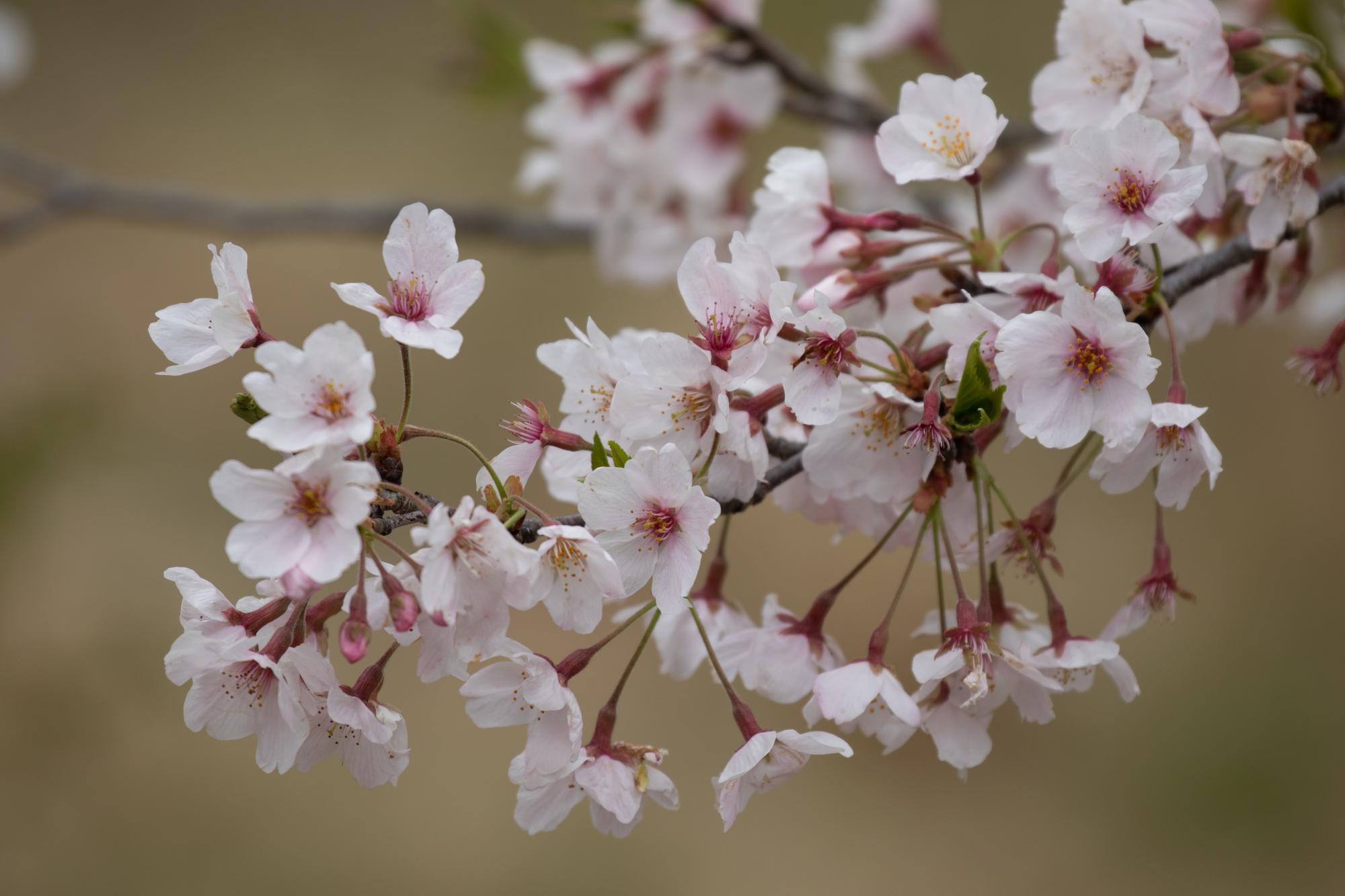 20200331-桜