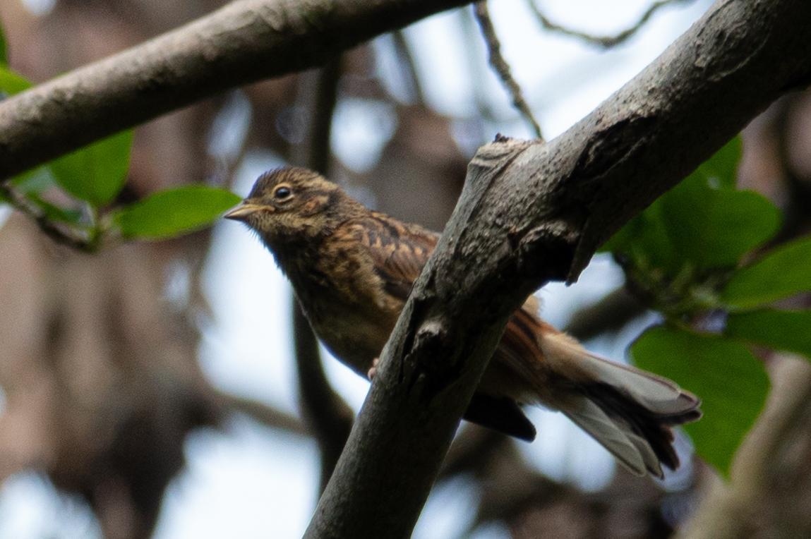 20200528-ホオジロ幼鳥2