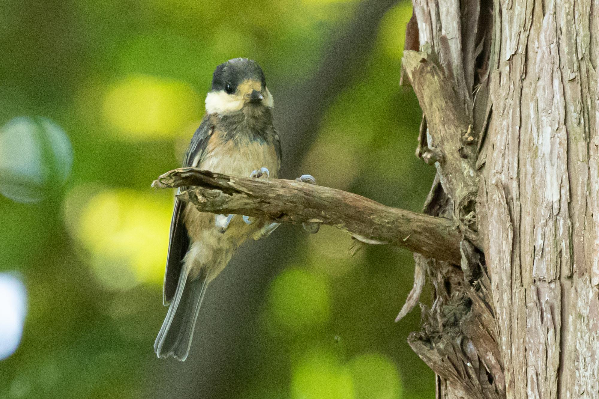 20200629-ヤマガラ幼鳥
