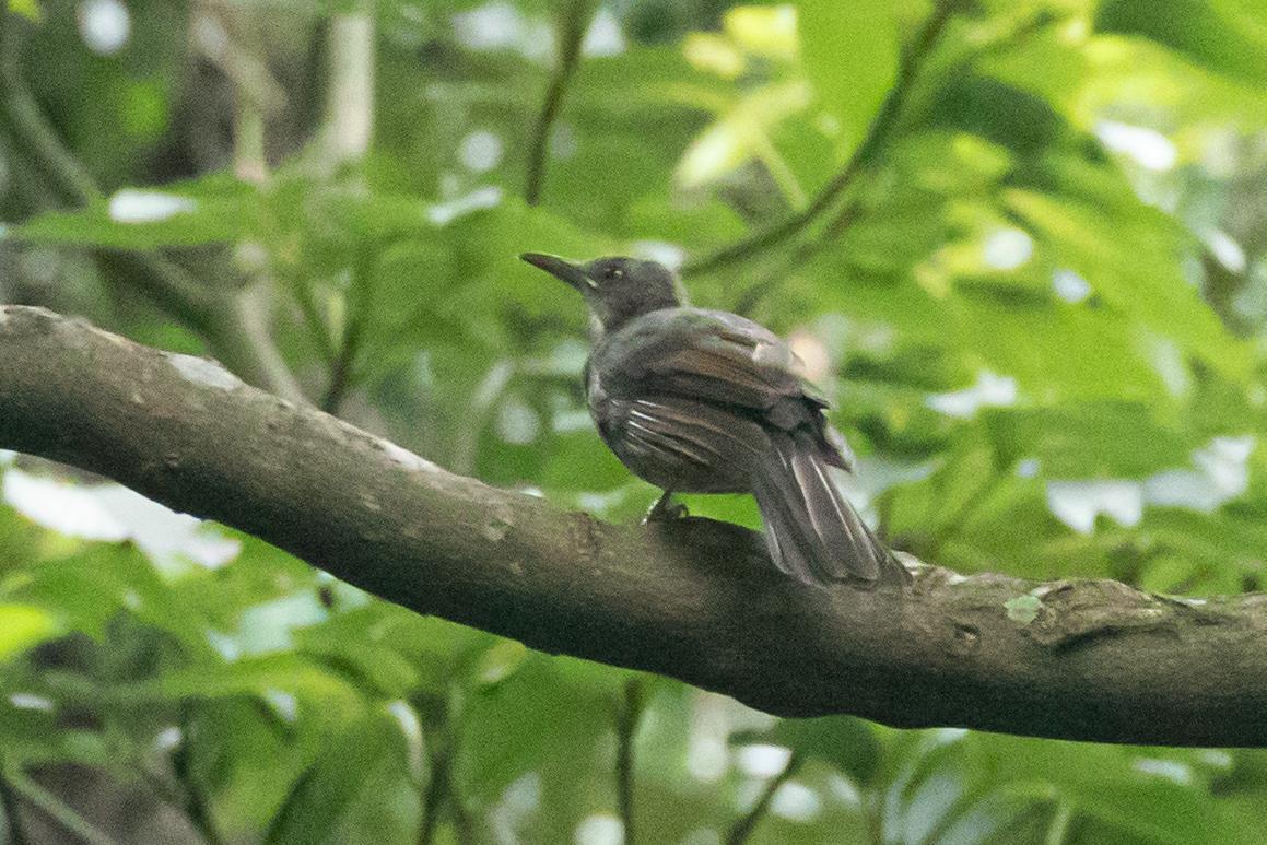 20200917-ヒヨドリ幼鳥
