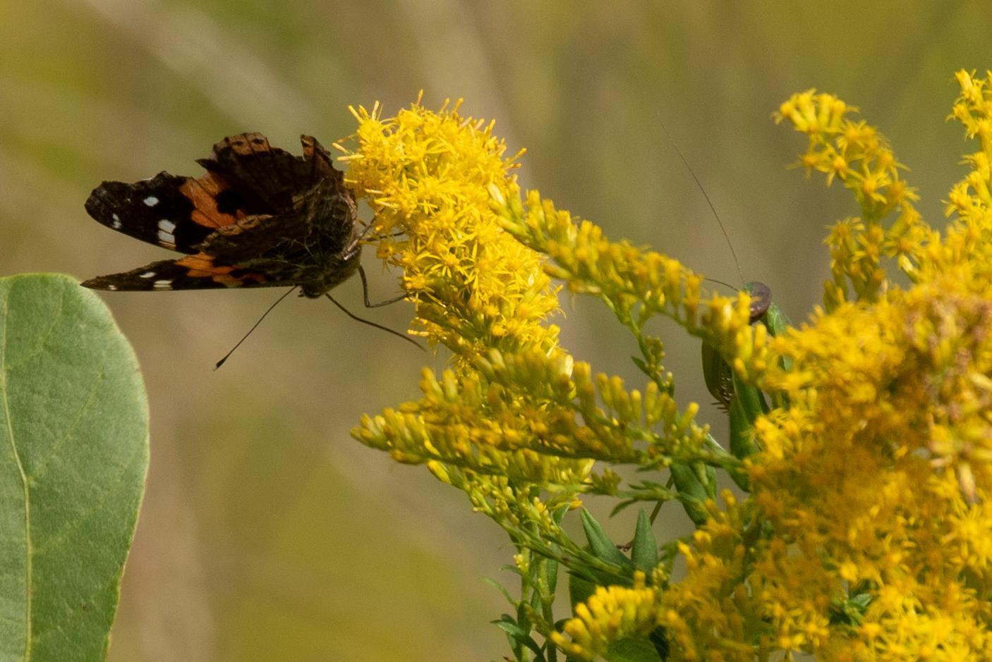 20201013-蝶とカマキリ
