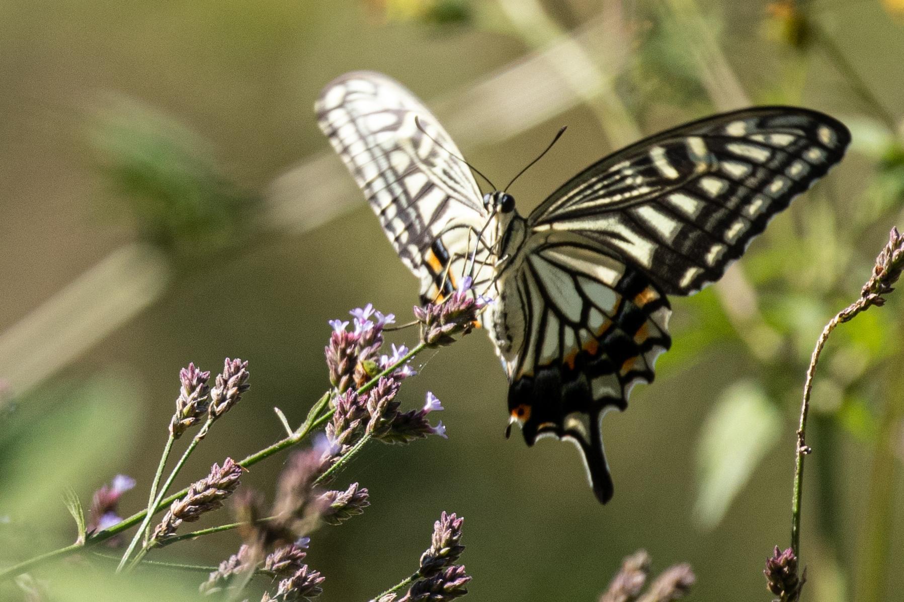 20201024-蝶々