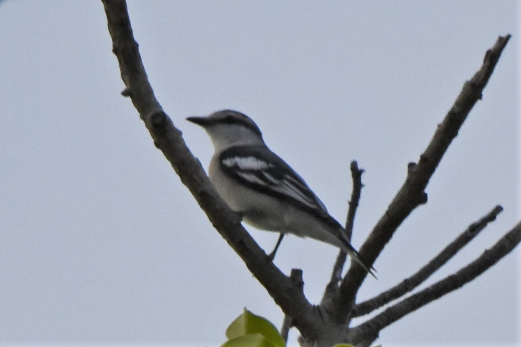 Pied Triller マダラナキサンショウクイ