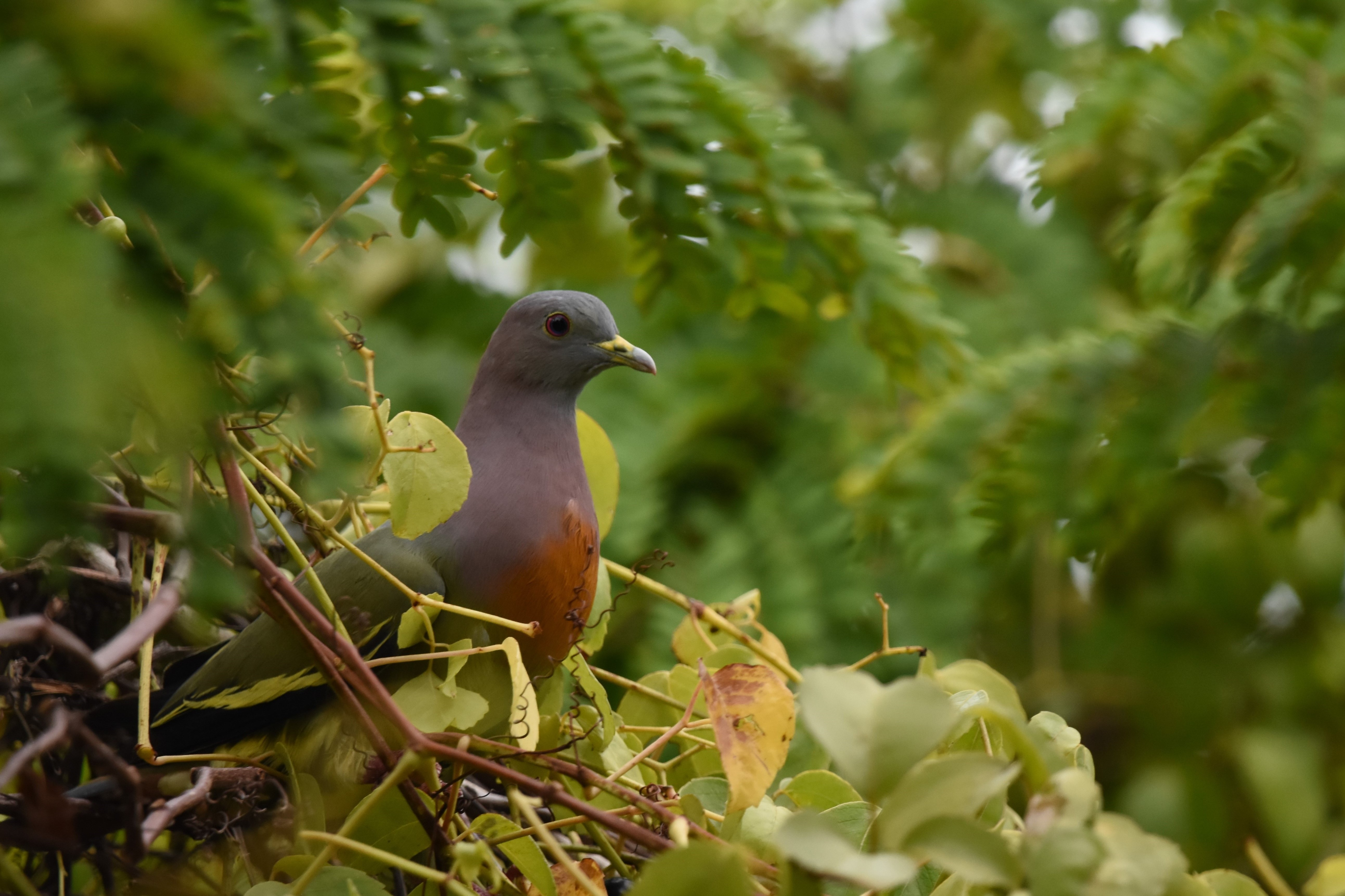 Pink-nacked Green Pigeon コアオバト雄