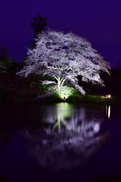 ジラカンス桜2020(1)