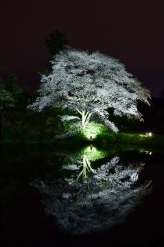 ジラカンス桜2020(2)