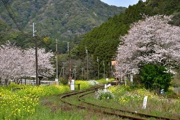 駒鳴駅2020桜(1)