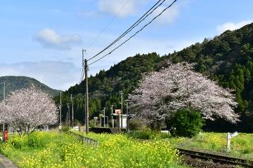 駒鳴駅2020桜(2)