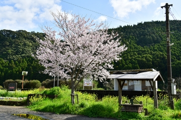 駒鳴駅2020桜(3)