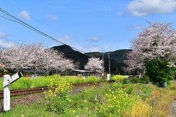 駒鳴駅2020桜(4)
