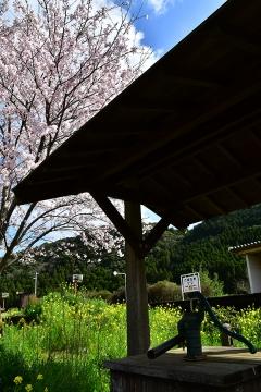 駒鳴駅2020桜(5)