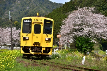駒鳴駅2020桜(7)