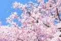 京都-桜-風景-イメージ