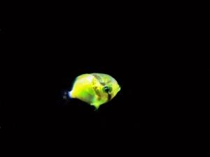 チョウチョウウオ科トリクチス幼生 (2)