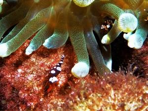 イソギンチャクモエビ抱卵