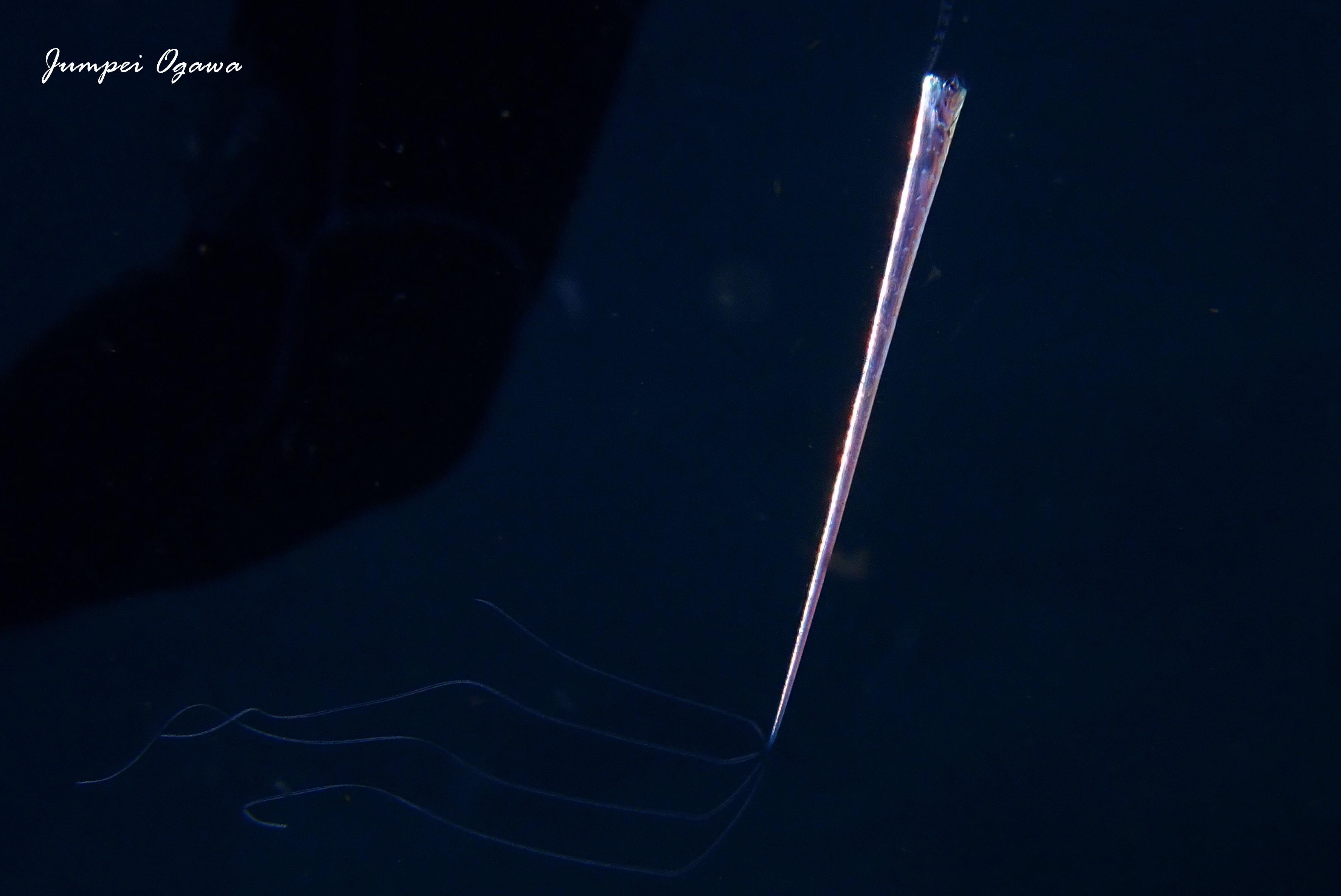 竜宮の使い,りゅうぐうのつかい,リュウグウノツカイ幼魚,リュウグウノツカイダイビング (4)