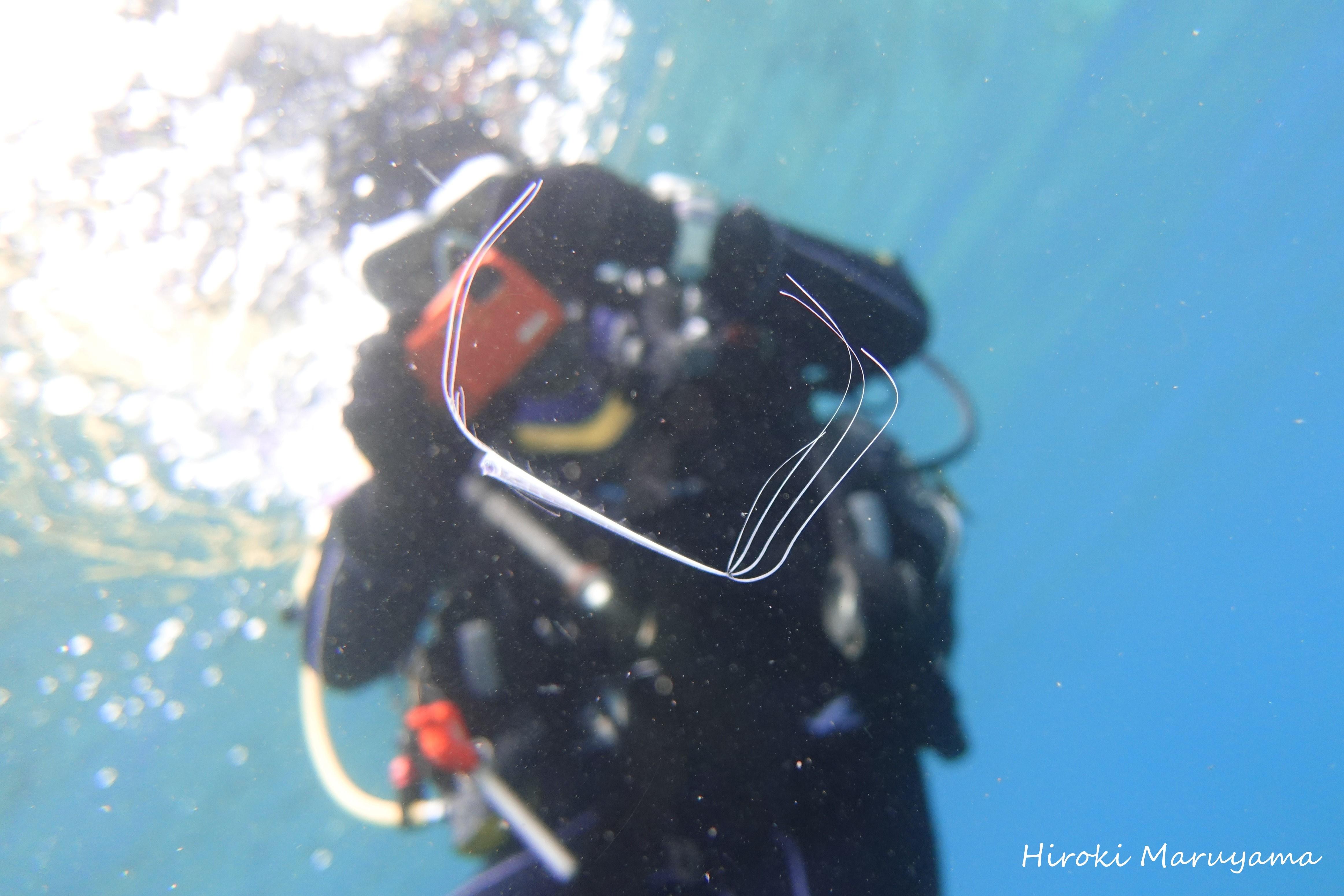 竜宮の使い,りゅうぐうのつかい,リュウグウノツカイ幼魚,リュウグウノツカイダイビング (2)