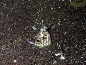 ホタテウミヘビ (5)