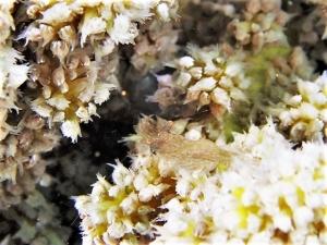 フジノサンゴヤドリエビ (2)