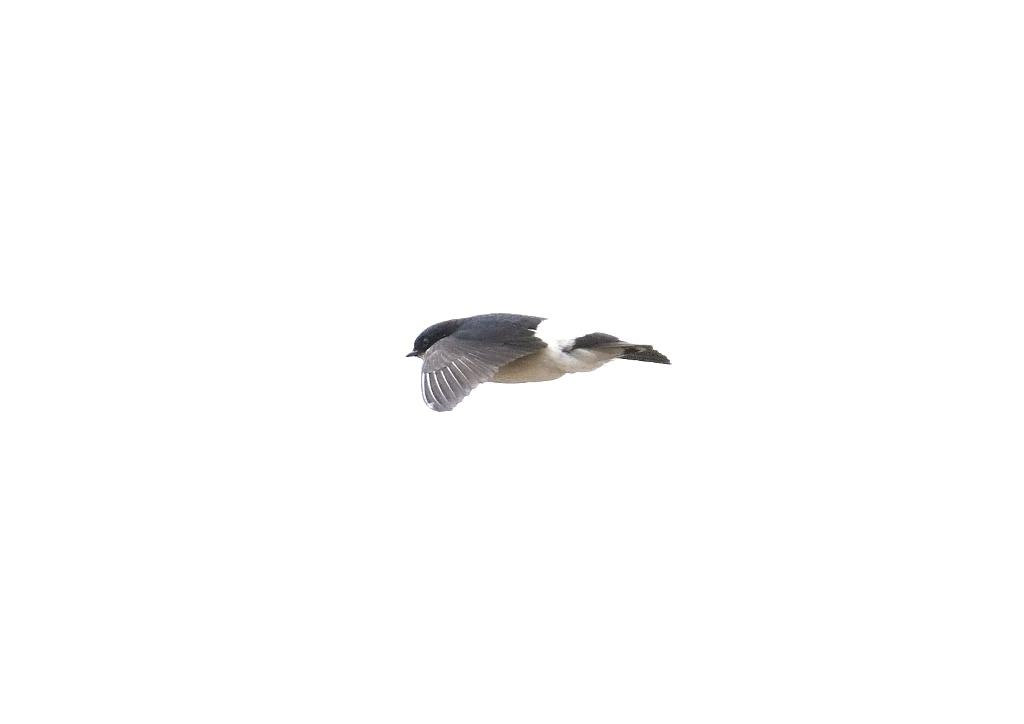 イワツバメ