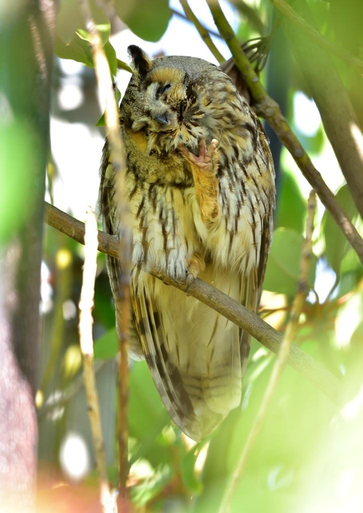 トラフズク若鳥