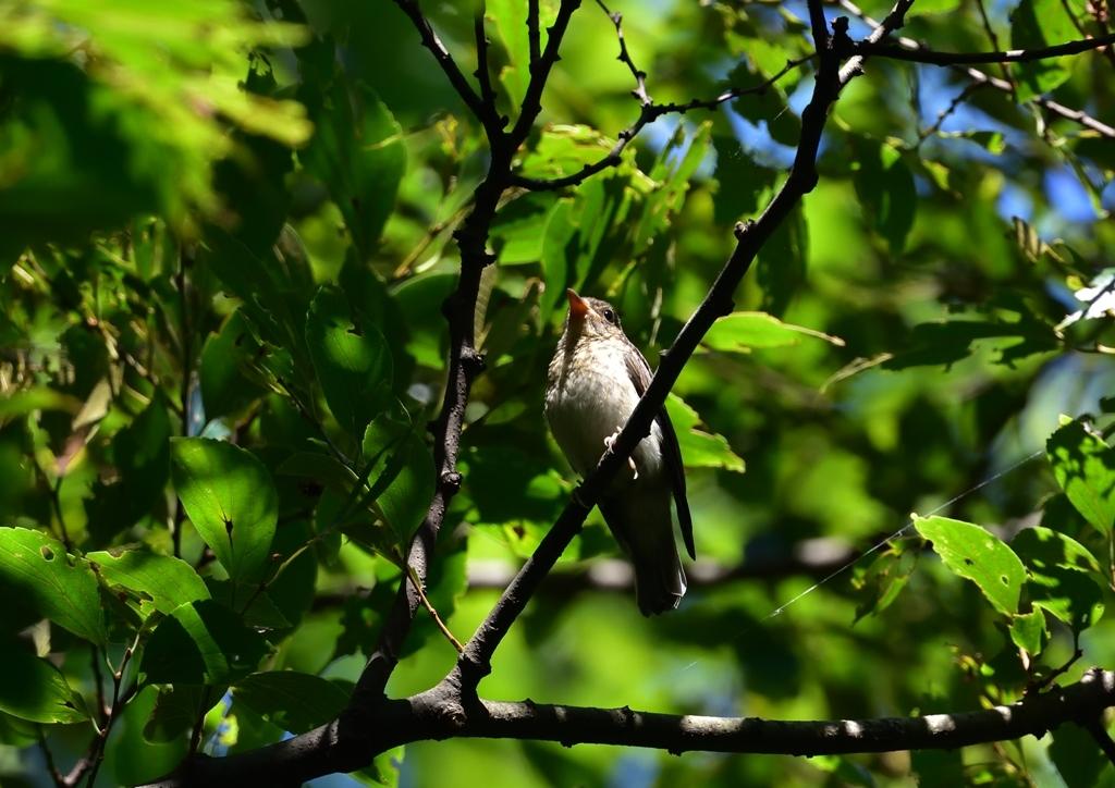 キビタキ若鳥