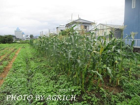 トウモロコシ被害1