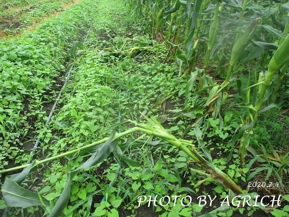 トウモロコシ被害2
