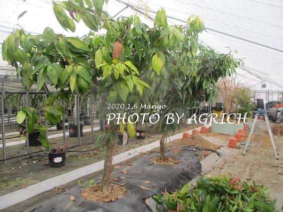 種からマンゴー