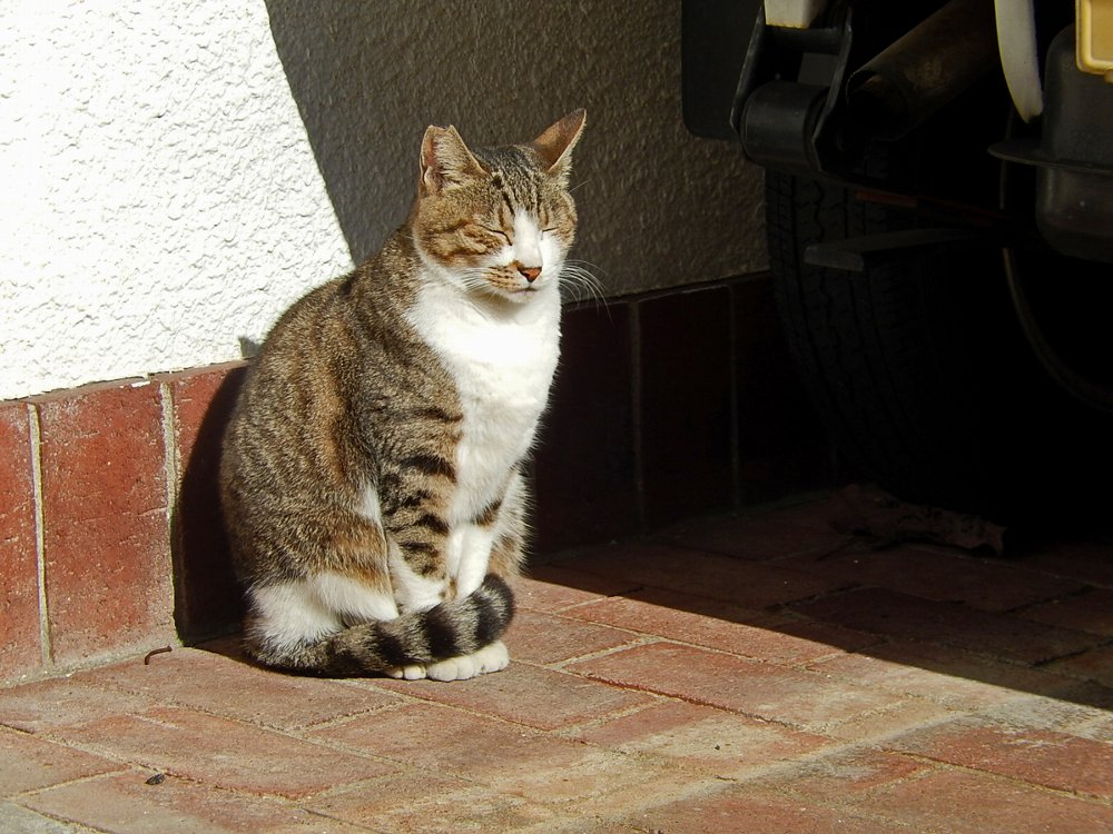 ひなたぼっこの猫