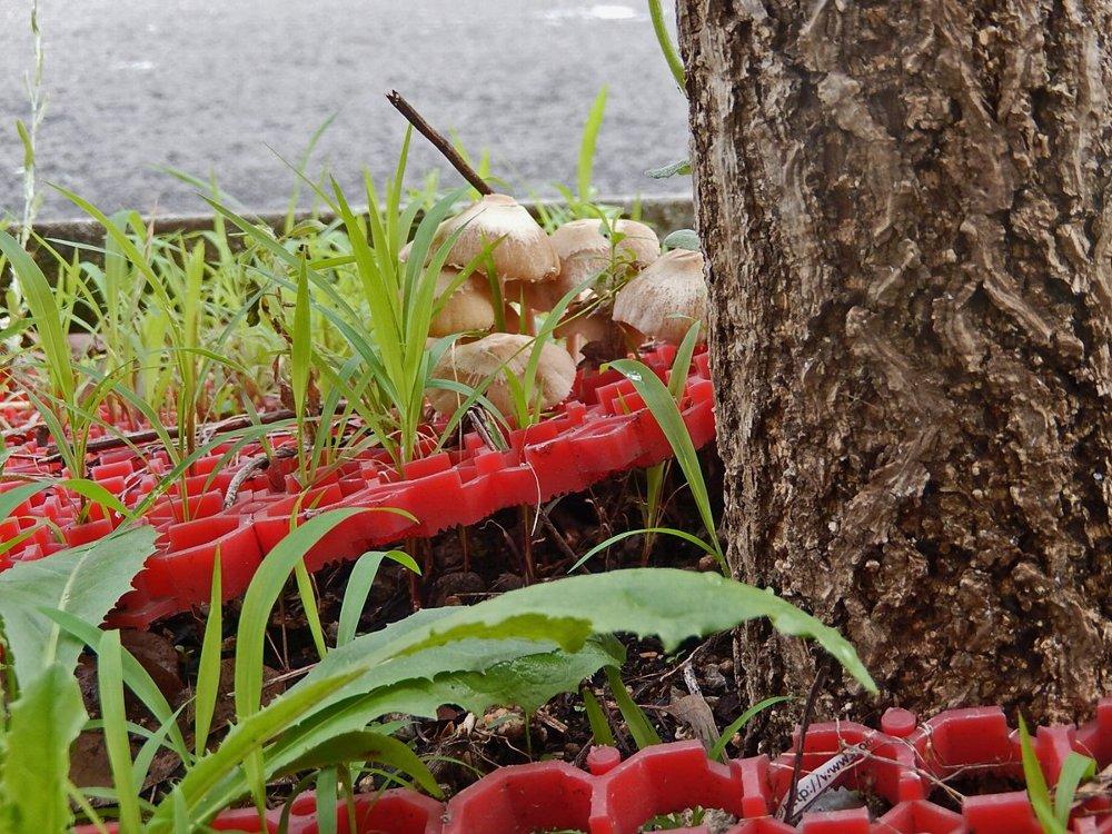 街のきのこ136街路樹の根元のきのこ