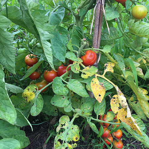 2020年 今年の夏野菜はトマトとナスだけ②