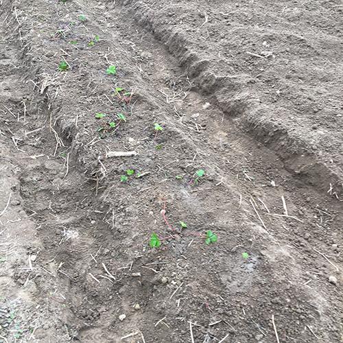 生き残ったイチゴの苗を植え替える③