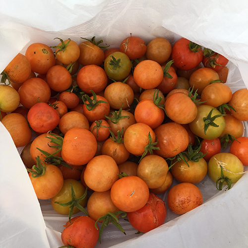 昨年は12月中旬までトマトとキュウリが採れました♪③