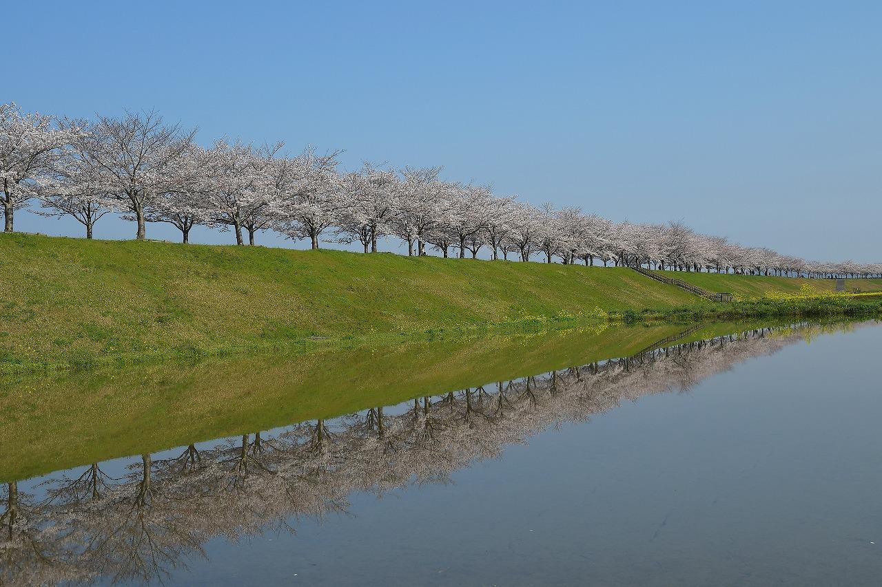 DSC_2806-1桜つづみ