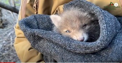 s-保護された狐の子