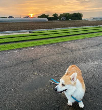 苗床と夕日
