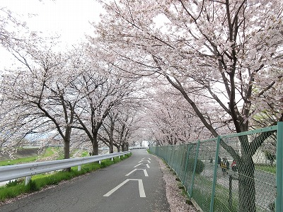 甲府東高校近くの桜並木