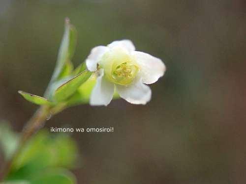 Semiaquilegia adoxoides