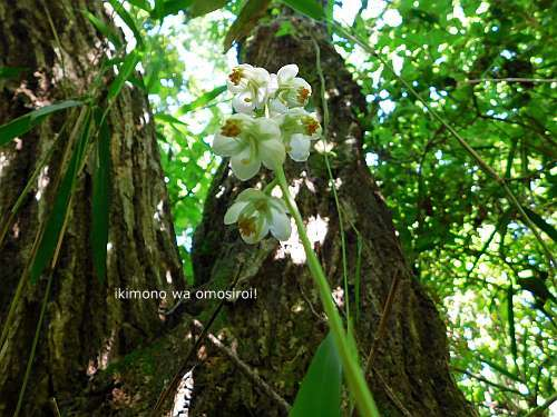 Pyrola japonica